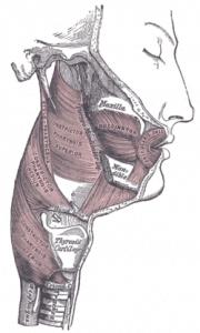 Pharyngeal Constrictors